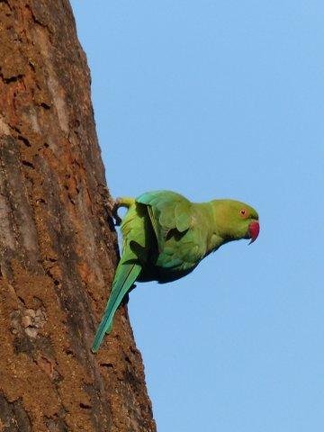 Rose-ringed parakeet, Bandhavgarh