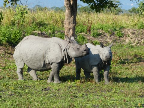 Indian rhino, Manas National Park