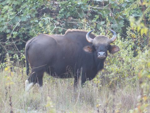Gaur, Manas National Park