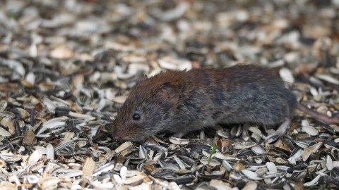 Finland, Vole? ID please.