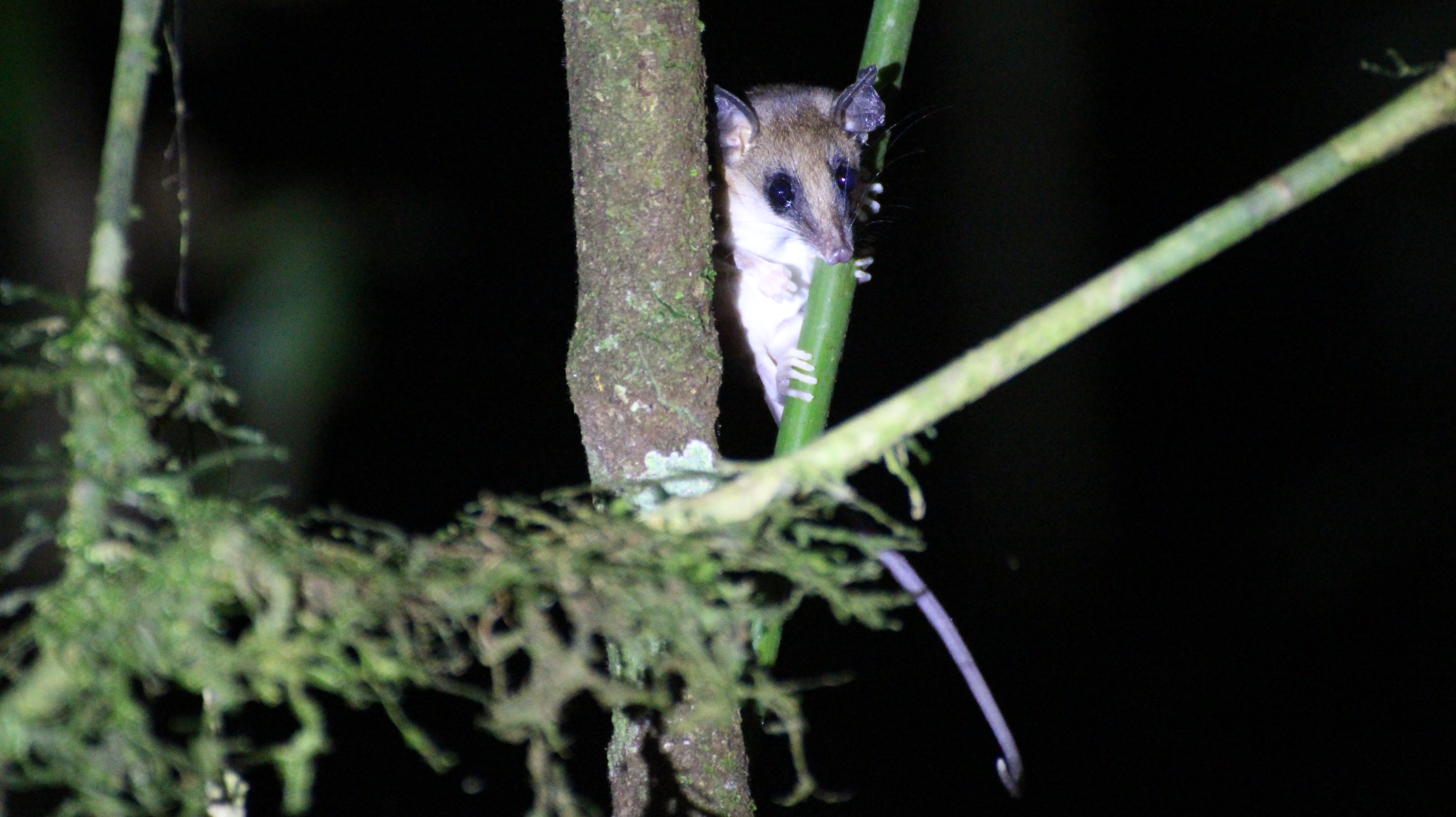 I think I already had it ID'ed but my notes are in a different country right now. Maybe Rufous Mouse Opossum?