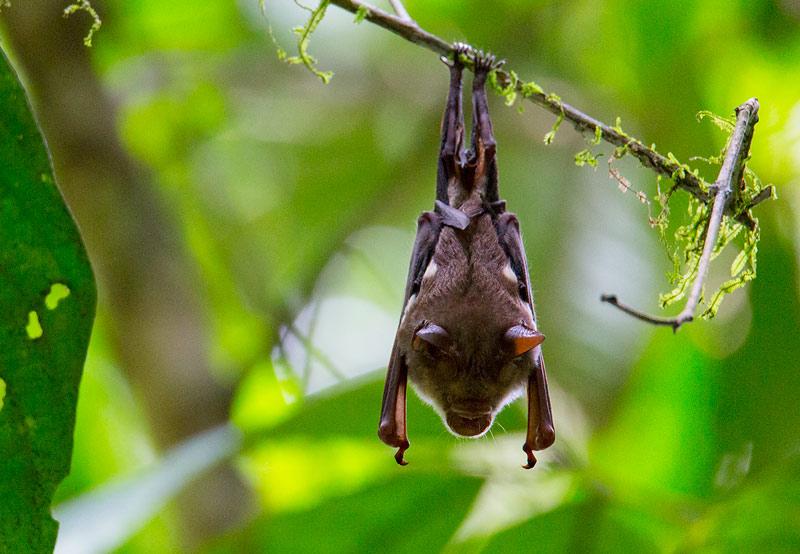 Bat ID help – Danum Valley, Sabah