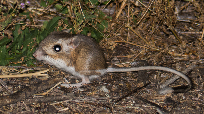 California_kangaroo_rat-1