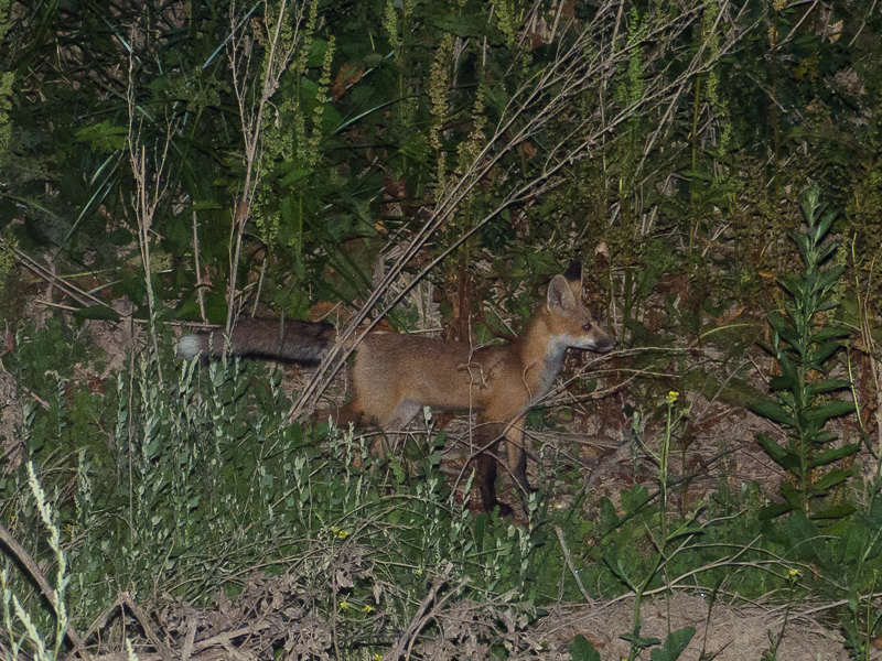 Sacramento_Valley_red_fox-1