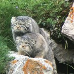 2016-08-11 Pallas's Cats, Qinghai Lake