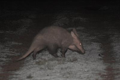 Aardvark-1