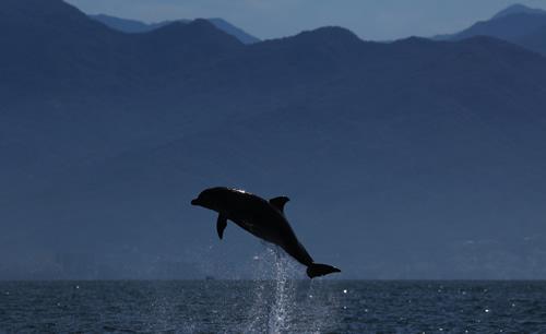 Bottlenose-Dolphin-2