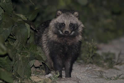 Raccoon-Dog