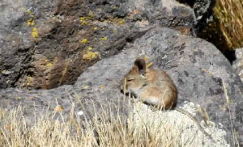 ID question rodent Andes in S Peru