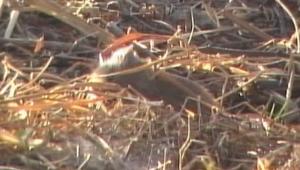 Field rat 2