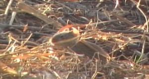 Field rat 3