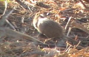 Field rat 4