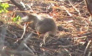 Field rat 5