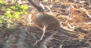 Field rat 6