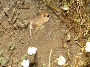 Kangaroo rat from borrego palm canyon area (1)