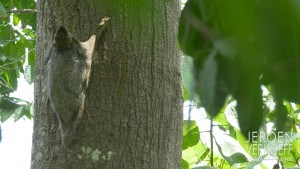 Mammalwatching thai report colugo 2018