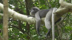 Mammalwatchint thai report leaf monkey 2018