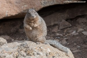 rock-squirrel-006