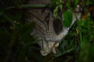 Sa Isidro cat (2)