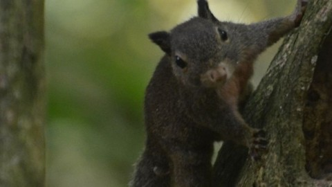 A Sulawesi Dwarf Squirrel Question