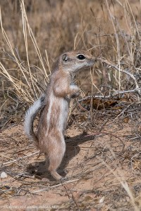 whitetail-antelope-squirrell-044