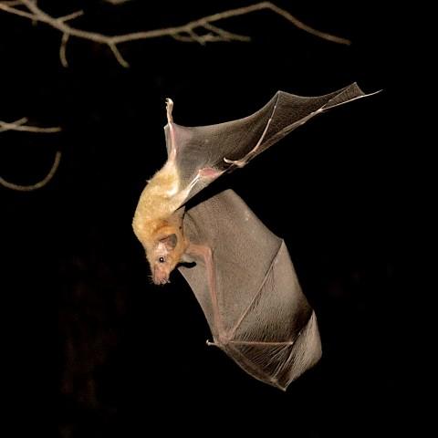 Lesser Long-nosed Bat site in Arizona