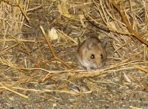 thinking deer mouse- taken about 10 miles from southern entrance