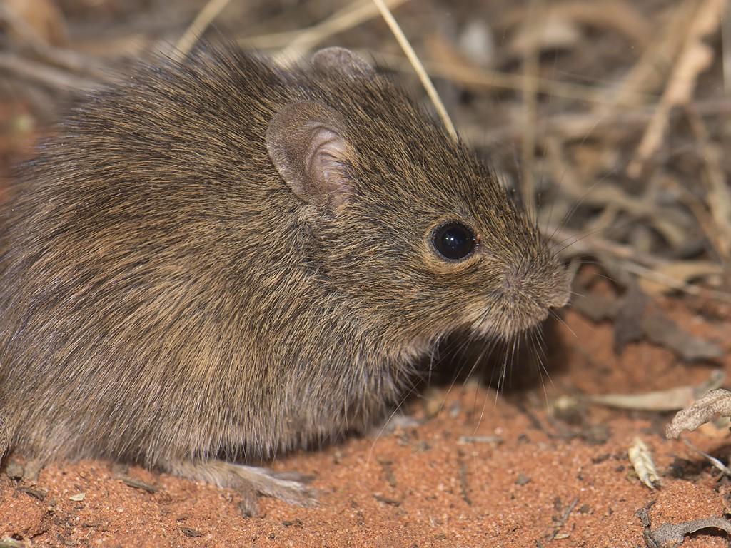 Desert Mouse - Pseudomys desertor