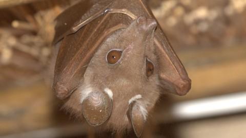 Fruit bat at Skukuze, Kruger NP, SA