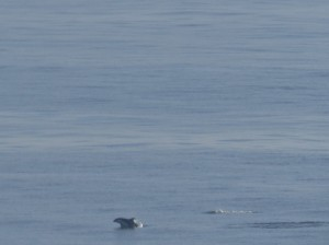 harbor porpoise I think- point fermin (1)