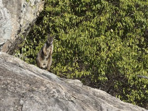 Herbert's Rock-wallaby