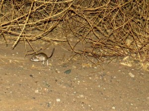 kangaroo rat- carrizo plain (1)