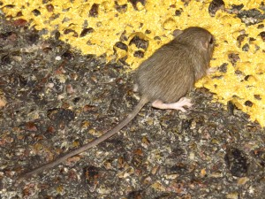 mouse from mojave national preserve (1)