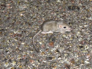 curious about this cute little mouse, about 10-15 miles off of highway 15 on main road. next three pics are same mouse