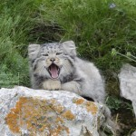 pallas's cat2 marie 1200