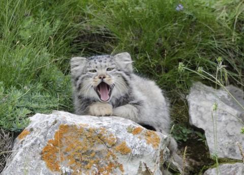 Pallas's Cats near Qinghai Lake, China