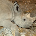 BlackRhino-Namibia