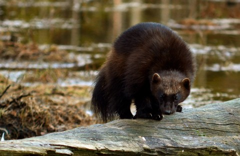 Wolverine Photography Holiday Trip Report – Royle Safaris