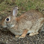 eastern_cottontail-2