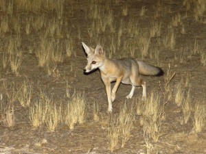 san-joaquin-kit-fox-carrizo-plain-nm-1