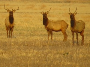 tule-elk-at-carrizo-plain-nm-1-800x599