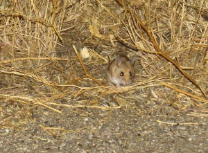 what-kind-of-mouse-is-this-carrizo-plain-2