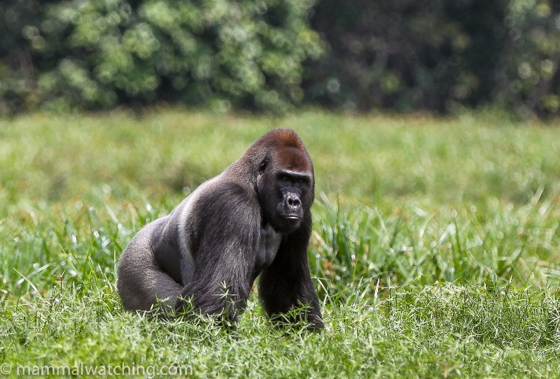 Lowland-Gorilla-1