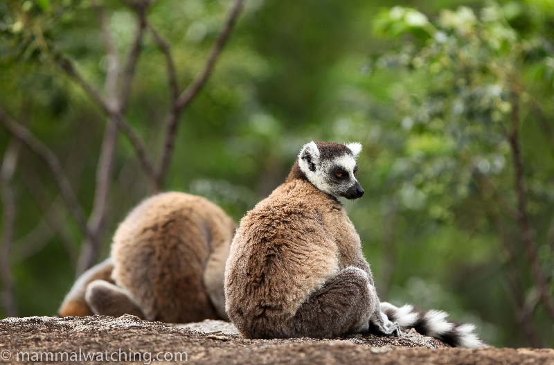 Main-2011-Ringtailed-Lemurs