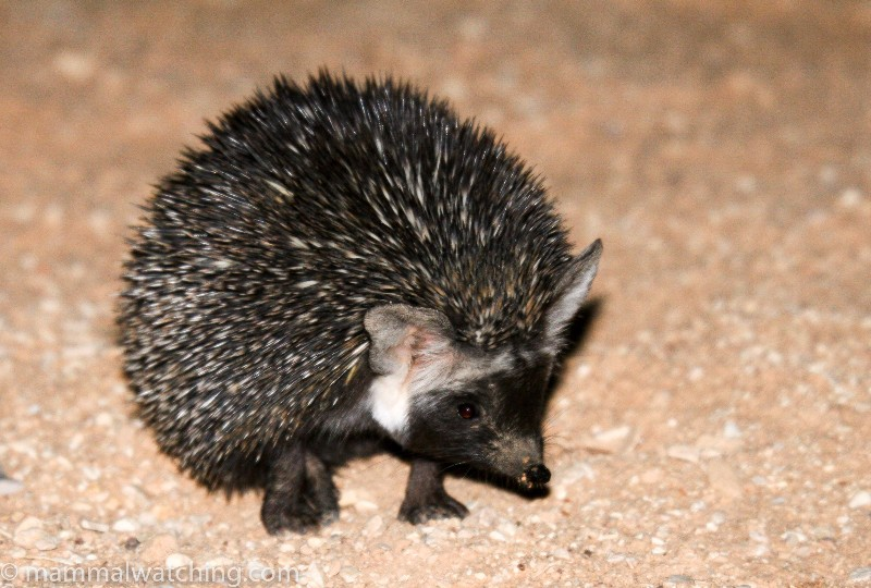 Desert-Ethiopian-Hedgehog
