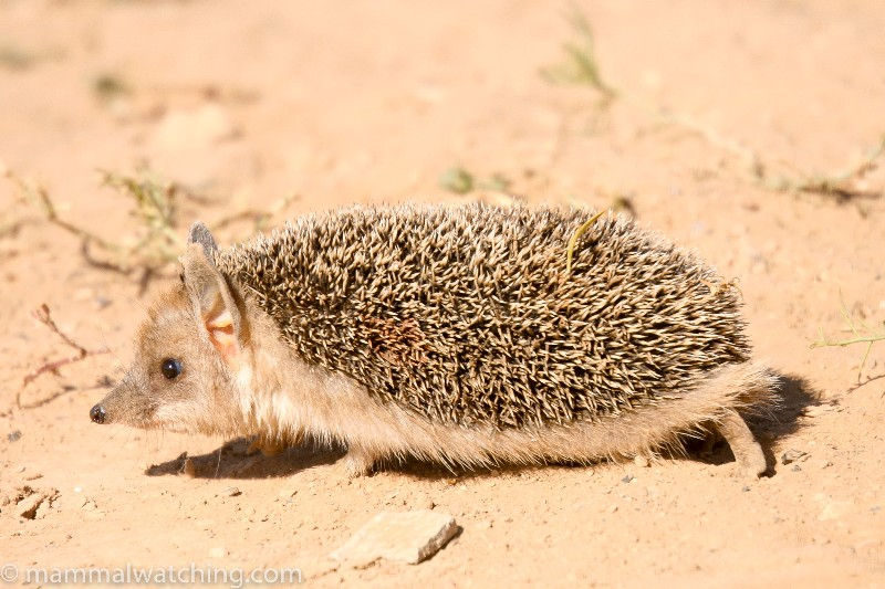 Long-eared-Hedgehog