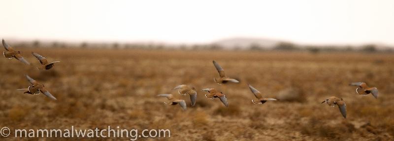 2011-Flock-Bronzewings