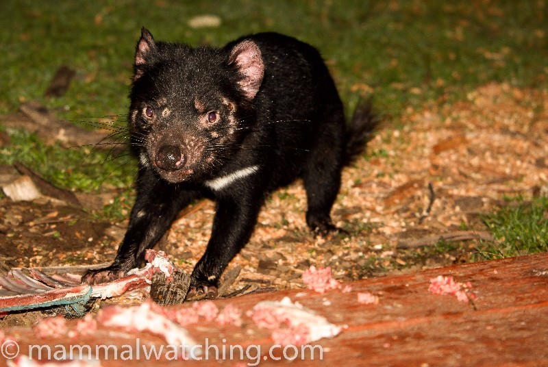 2010-Tasmanian-Devil
