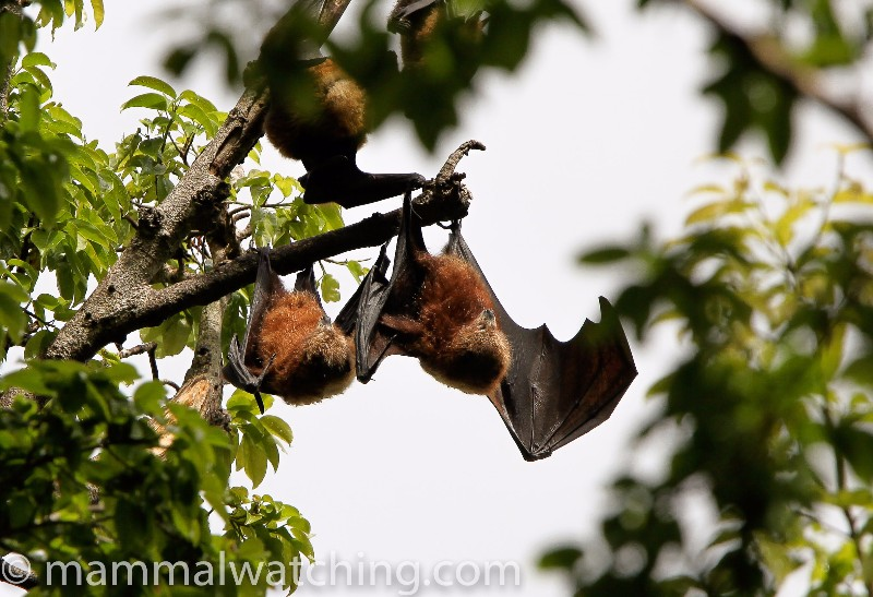 2010-Ornate-Flying-Fox-2