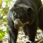 AndeanBear-Peru2FB
